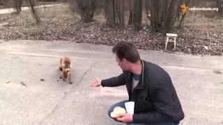 Вот это прикол! Чернобыльский Лис Делает Бутерброд! Chernobyl Fox To Make a Sandwich