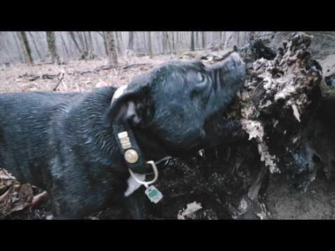 My crazy Staffordshire Bull Terrier JuJu