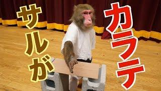 【さすが】ニホンザルに空手教えたらすごい技できた!!(#165) thumbnail