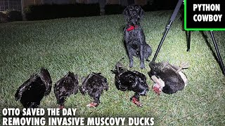 Removing Invasive Muscovy Duck Population From Gated Community