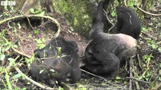 Chimps with tools Wild ape culture caught on camera