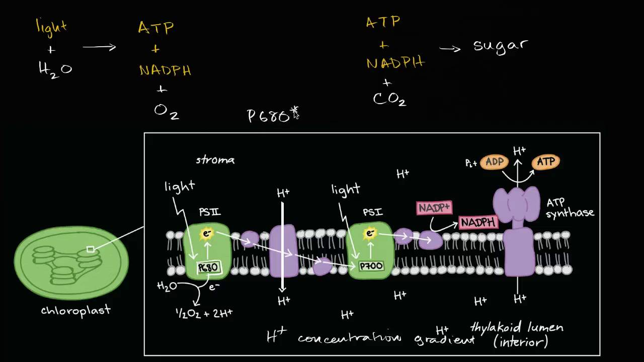 Conceptual overview of light dependent reactions  YouTube