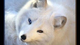 Про животных: песец