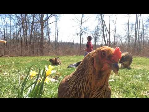 Chicken Yoga with Betty: Breath