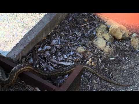 Snake in Glassell Park