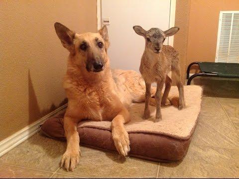 Doberman & German Shepherd can't get away from a SHEEP!
