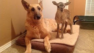 Lamb Loves Doberman And German Shepherd