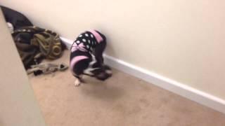 Popeye Boston Terrier In Her Jumper
