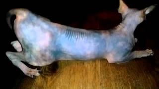 Кошка гуляет, 1 год Шельма сфинкс.
