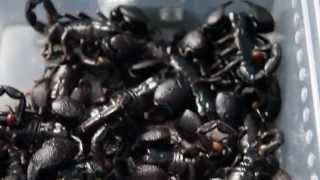 30 LIVE Scorpions in a Tub! (Setting Up Your Scorpion Enclosure Part II)