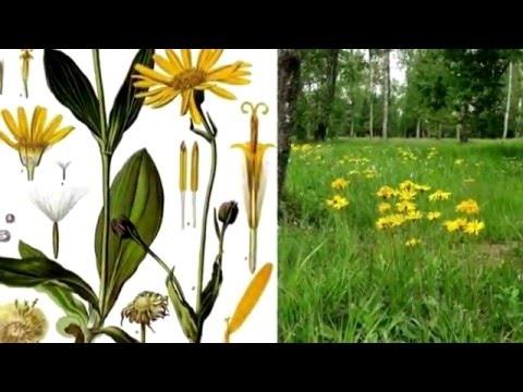 Арника - Лечебные свойства Арники - Применение Арники в