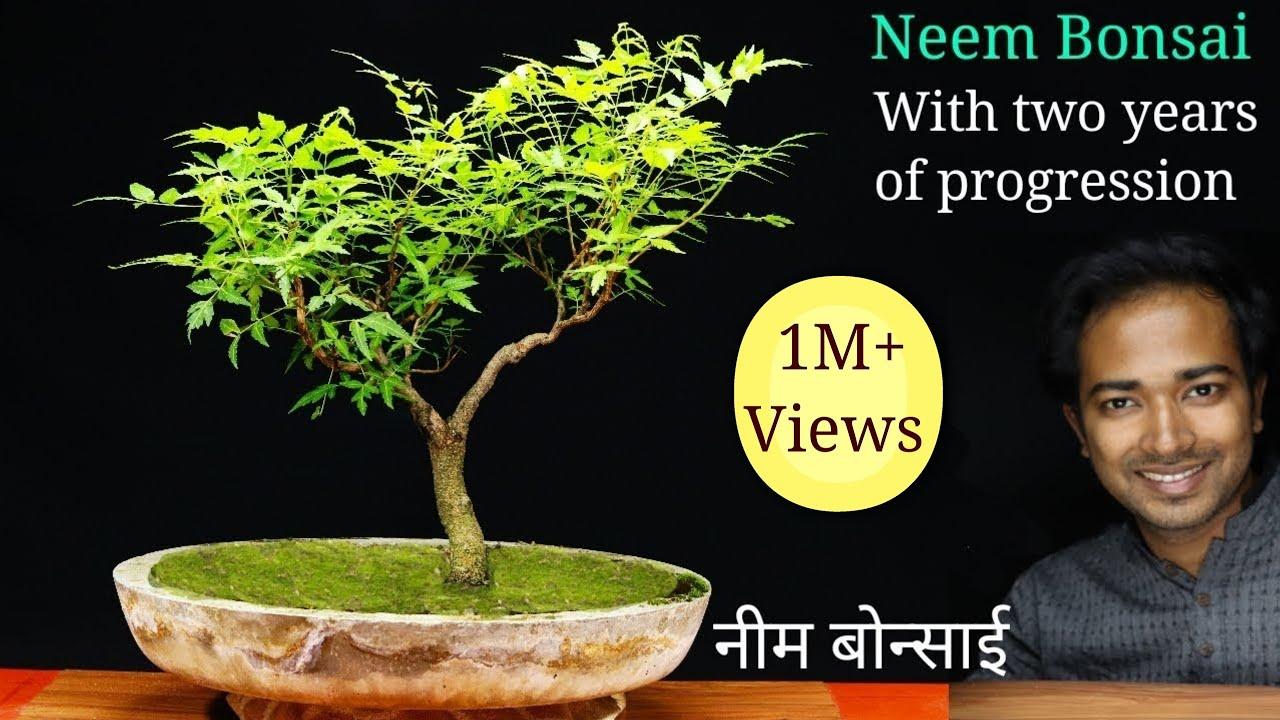 Neem bonsai | How to make a bonsai tree