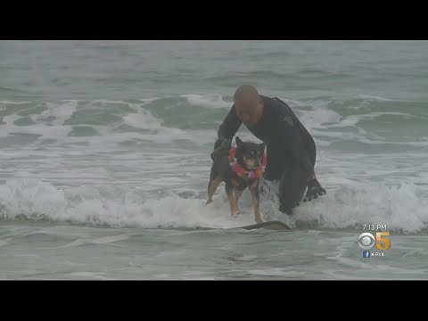 South Bay Rescue Dog And Owner Share Passion For Surfing
