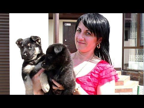 Щенки ВОСТОЧНО-ЕВРОПЕЙСКОЙ ОВЧАРКИ. East European Shepherd. Odessa, Ukraine.