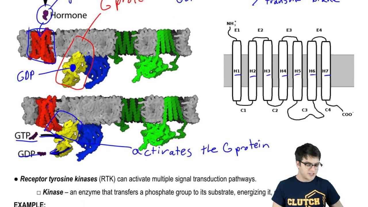 G Protein Coupled Receptors and Receptor Tyrosine Kinases - YouTube