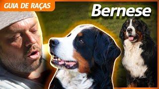 BERNESE, O CÃO DOS ALPES SUÍÇOS! | RICHARD RASMUSSEN