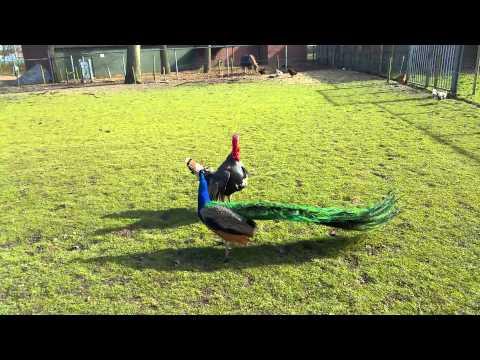 Turkey vs Peacock