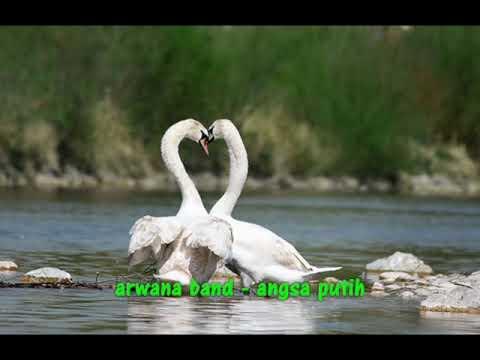Arwana - Angsa Putih