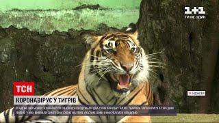 Новини світу в індонезійському зоопарку двоє суматранських тигрів оговтуються від COVID 19