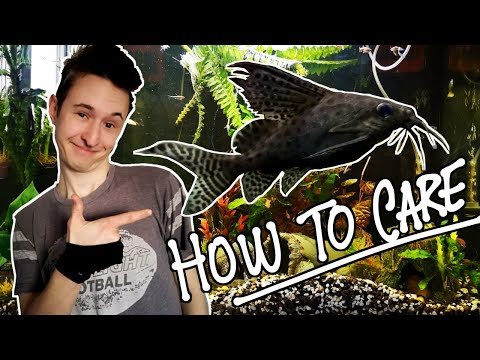 How To Care : Featherfin Catfish (Synodontis Eupterus)