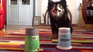 Mind-reading Dog. Advanced Dog Training For Beginners. With Mouse The Chihuahua