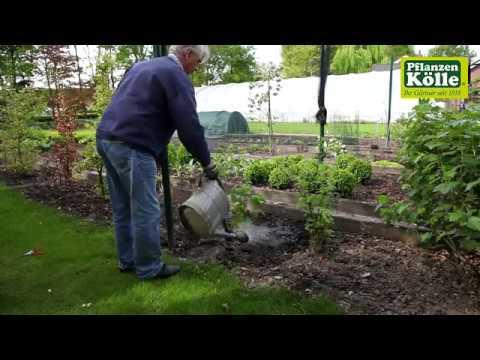 Himbeeren Einpflanzen Im Garten I Pflanzen Kolle Youtube