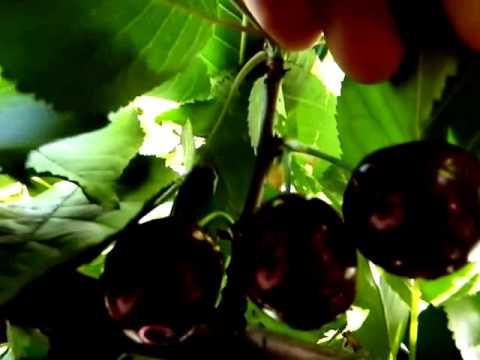Саженцы вишни Чудо