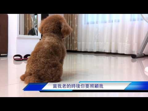 貴賓狗網路之家-偷拍寵物狗狗在家做甚麼?