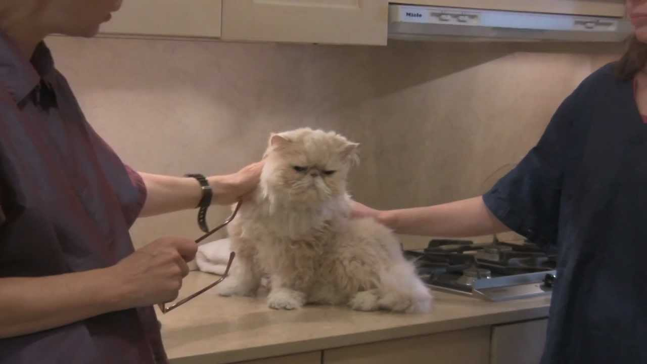 Persian cat grooming with the pet maven youtube persian cat grooming with the pet maven winobraniefo Images