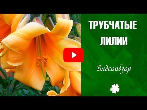 Трубчатые лилии 🌸 Как правильно сажать цветы ✅ Лилия правила ухода и выращивания