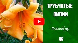 видео Вислоплодник: виды и сорта, условия выращивания