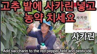 고추밭에 사카린 넣고 농약해야 하는 이유 Add saccharin to the red pepper field and pesticide.