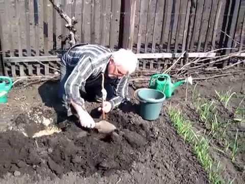 Весенняя посадка малины. Как посадить кусты малины весной