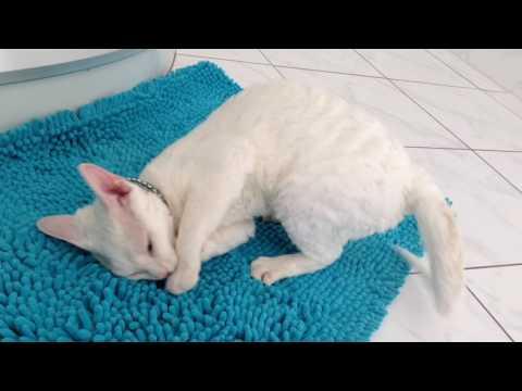 Devon Rex cat Casey