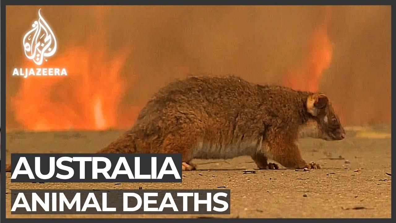 Australia's bushfires devastate native wildlife population
