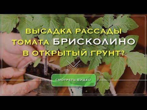 Высадка рассады томата Брисколино F1 в грунт. | выращивание | вирощування | помидор | семена | профес | поштою | почтой | овощей | томат | овощи