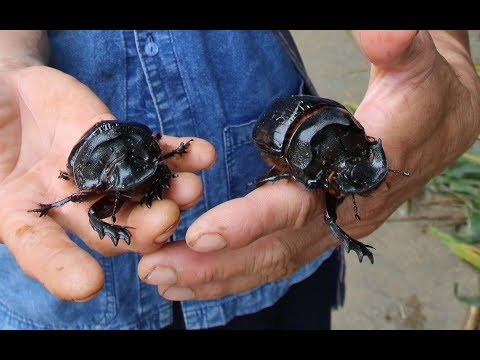 The quest for the biggest dung beetle - Heliocopris dominus ...