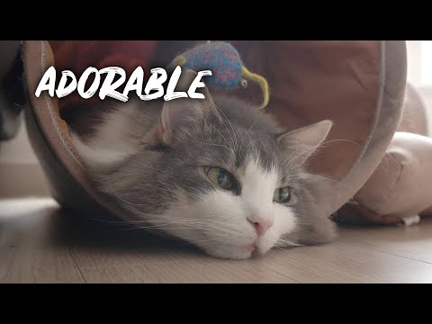 All about the Norwegian Forest Cat Otorong