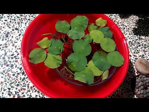 499 how to grow n care lotus plant from seed hindi urdu 5917 499 how to grow n care lotus plant from seed hindi urdu 5917 mightylinksfo