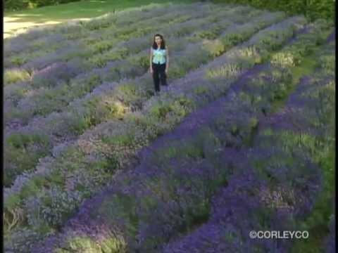 lavender-in-the-garden