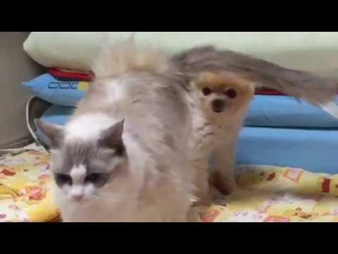 【衝撃映像】犬と猫の交尾 ポメラニアン×ラグドール dog cat mating【動物】