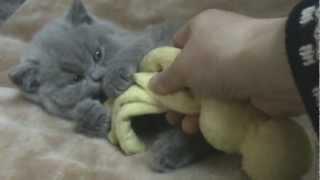 Quattro Silvery Snow. Видео британского котенка.