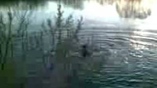 Селка прыгает в воду.3gp