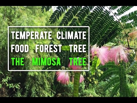 Using the Mimosa Tree in the Temperate Climate