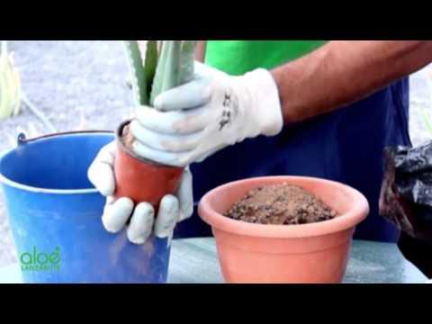 Алоэ Aloe - виды, уход, размножение, проблемы выращивания