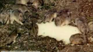 Lemming Migration