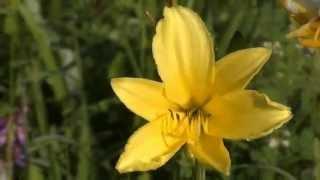 Лилия. Красная, желтая, перламутровая. Сказочные лесные поля с лилиями. Видео высокой четкости.