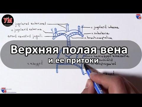 Верхняя полая вена и ее притоки - meduniver.com