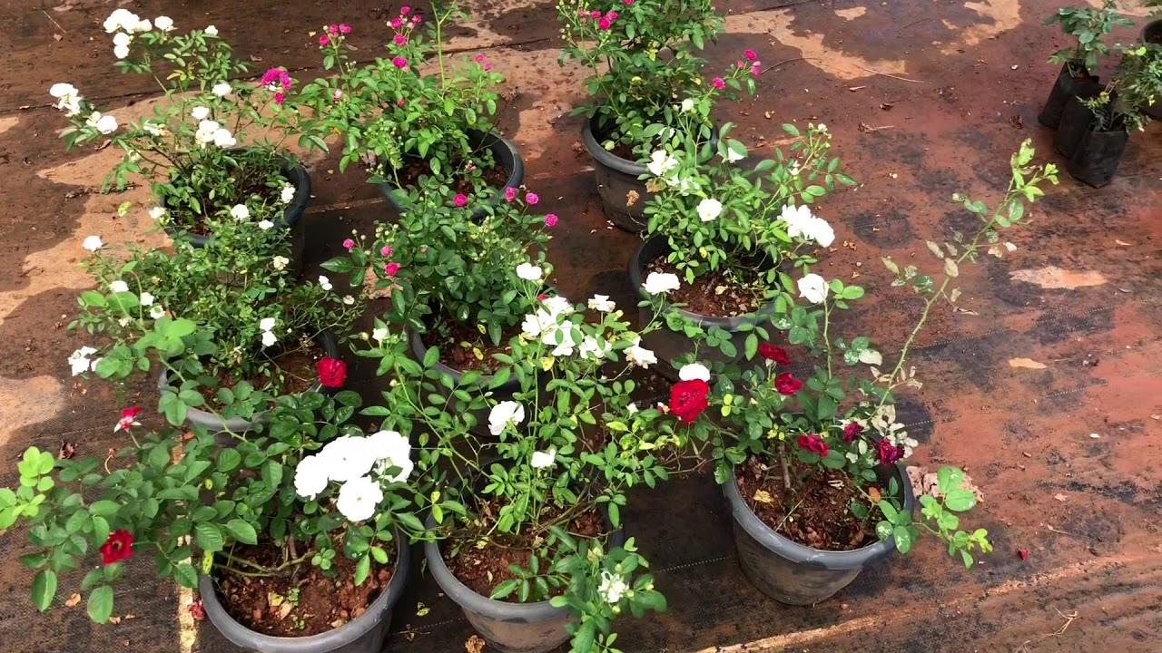 """HIGHWAY GREEN"" - BEAUTIFUL PLANT NURSERY - THALAPPARA, MALAPPURAM"