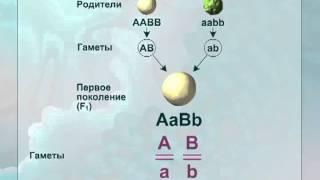 видео § 46. Дигибридное скрещивание.  Третий закон менделя